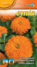 Cynia daliowa pomarańczowa