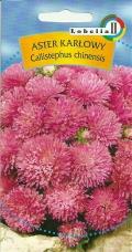 Aster Karłowy Różowy
